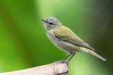Tennessee Warbler - Tennesseezanger - Paruline obscure