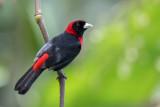 Crimson-collared Tanager - Vuurkraagtangare - Tangara ceinturé