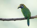 Blue-throated Toucanet.- Blauwkeelarassari - Toucanet à gorge bleue