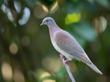 Pale-vented Pigeon - Rosse Duif - Pigeon rousset