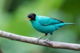 Green Honeycreeper - Groene Suikervogel - Guit-guit émeraude (m)