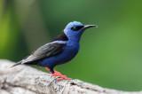 Red-legged Honeycreeper - Blauwe Suikervogel - Guit-guit saï (m)