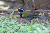 Orange-billed Sparrow - Goudsnavelgors - Tohi à bec orange