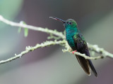 Bronze-tailed Plumeleteer - Bronsstaartpluimkolibrie - Colibri à queue bronzée