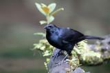Melodious Blackbird - Rouwtroepiaal - Quiscale chanteur