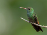 Rufous-tailed Hummingbird - Roodstaartamazilia - Ariane à ventre gris