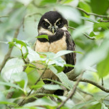 Spectacled Owl - Briluil - Chouette à lunettes