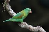Orange-chinned Parakeet - Toviparkiet - Toui à menton d'or