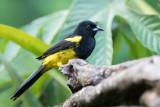 Black-cowled Oriole - Zwartborsttroepiaal - Oriole monacal