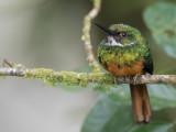 Rufous-tailed Jacamar - Roodstaartglansvogel - Jacamar à queue rousse (m)