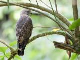 Broad-winged Hawk - Breedvleugelbuizerd - Petite Buse