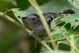 Black-crowned Antshrike - Westelijke Mierklauwier - Batara à nuque noire