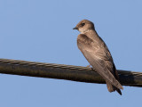 Northern Rough-winged Swallow - Noord-Amerikaanse Ruwvleugelzwaluw - Hirondelle à ailes hérissées