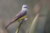 Tropical Kingbird - Tropische Koningstiran - Tyran mélancolique
