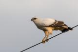 White Hawk - Grote Bonte Buizerd - Buse blanche