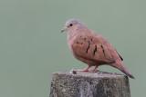 Ruddy Ground Dove - Steenduif - Colombe rousse