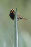 Yellow-faced Grassquit - Grote Cubavink - Tiaris grand-chanteur