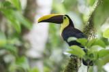 Yellow-throated Toucan - Zwartsnaveltoekan - Toucan tocard