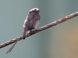 Long-tailed Tyrant - Langstaarttiran - Moucherolle à longs brins