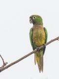 Olive-throated Parakeet - Olijfkeelaratinga - Conure naine