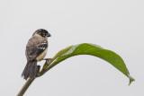 Morelet's Seedeater - Morelets Dikbekje - Sporophile de Morelet