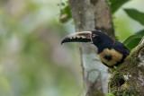 Collared Aracari - Halsbandarassari - Araçari à collier