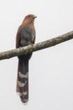 Squirrel Cuckoo - Eekhoornkoekoek - Piaye écureuil