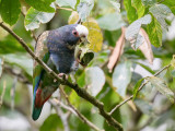 White-crowned Parrot - Witkopmargrietje - Pione à couronne blanche
