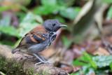 Spotted Antbird - Vlekborstmiervogel - Fourmilier grivelé (m)
