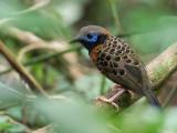 Ocellated Antbird - Mcleannans Miervogel - Fourmilier ocellé