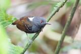 Dull-mantled Antbird - Grijskruinmiervogel - Alapi tabac