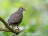 Grey-chested Dove - Cassins Duif - Colombe de Cassin