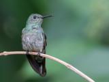 Scaly-breasted Hummingbird - Schubborstkolibrie - Colibri de Cuvier