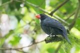 Slate-colored Grosbeak - Witkeelkardinaal - Cardinal ardoisé