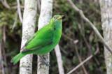 Green Honeycreeper - Groene Suikervogel - Guit-guit émeraude (f)