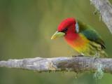 Red-headed Barbet - Roodkopbaardvogel - Cabézon à tête rouge (m)