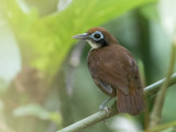 Bicolored Antbird - Tweekleurige Miervogel - Fourmilier bicolore