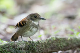 Spotted Antbird - Vlekborstmiervogel - Fourmilier grivelé (f)