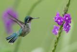 Violet-headed Hummingbird - Paarskopkolibrie - Colibri à tête violette (f)