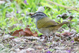 Black-striped Sparrow - Panamagors - Tohi ligné