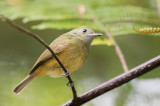 Ochre-bellied Flycatcher - Okerbuikpipratiran - Pipromorphe roussâtre