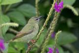 Red-legged Honeycreeper - Blauwe Suikervogel - Guit-guit saï (f)