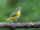Yellow-throated Euphonia - Geelkeelorganist - Organiste à gorge jaune (f)