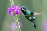 Green Thorntail - Groene Draadkolibrie - Coquette à queue fine (f)