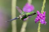 Green Thorntail - Groene Draadkolibrie - Coquette à queue fine (m)