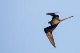 Magnificent Frigatebird - Amerikaanse Fregatvogel - Frégate superbe