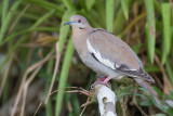 White-winged Dove - Witvleugeltreurduif - Tourterelle à ailes blanches