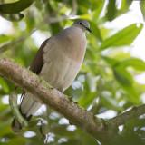 Grey-headed Dove - Grijskopduif - Colombe à calotte grise
