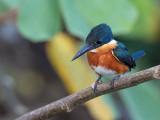 American Pygmy Kingfisher - Groene Dwergijsvogel - Martin-pêcheur nain