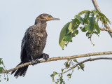 Neotropic Cormorant - Bigua Aalscholver - Cormoran vigua